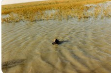 Kimba retrieving a duck
