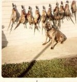 Ros with pheasants